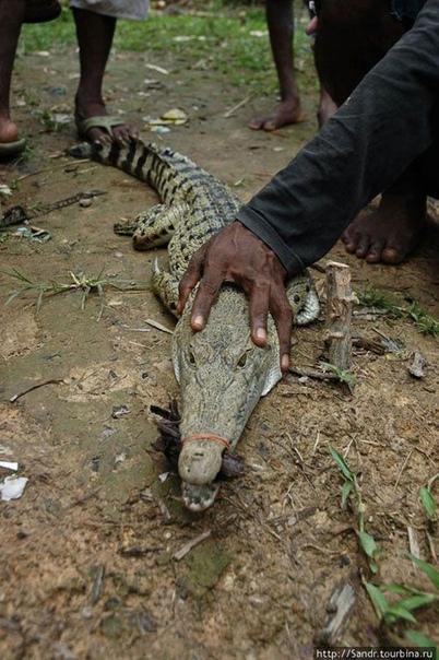Крокодил может закрыть пасть с такой же силой, как если бы грузовик упал со скалы
