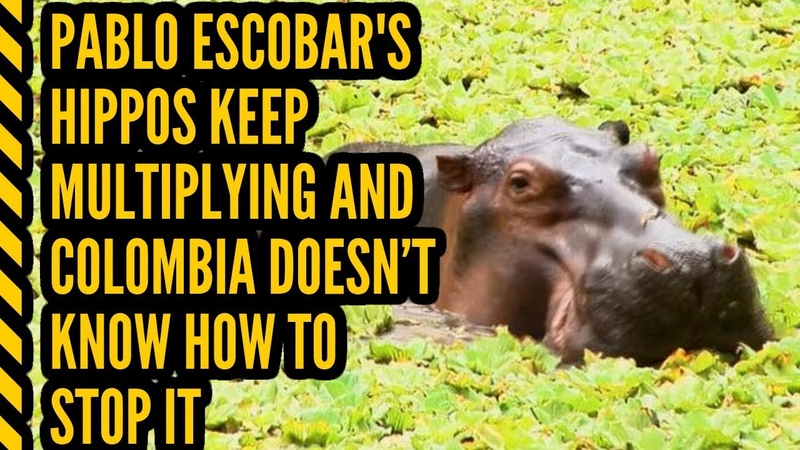 Pablo Escobar's Hippos Keep Multiplying And Colombia Doesn'T Know How To Stop It 2019