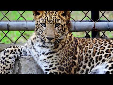 JGNEWS Petani di Lahat Sumsel Tewas Diterkam Macan Tutul
