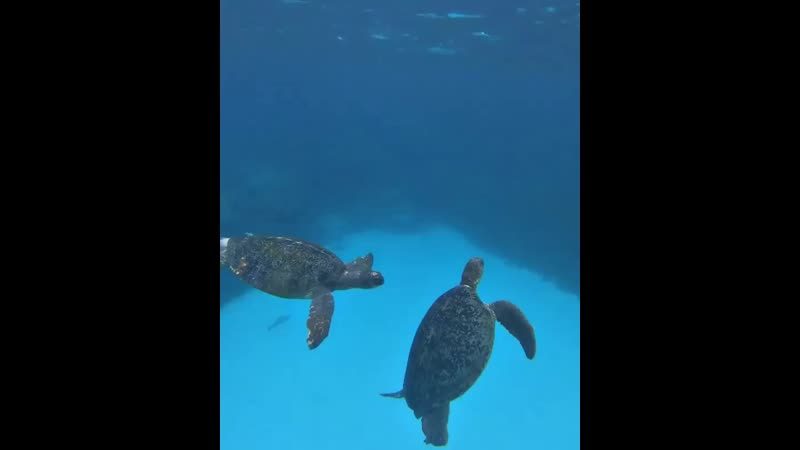 Turtle season on the Great Barrier Reef also brings a lot of fighting turtle boom These HD mp4