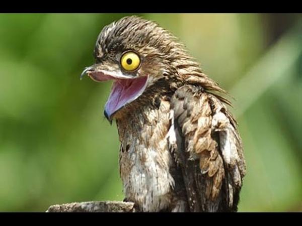 Козодой птица пылесос или ночная ласточка