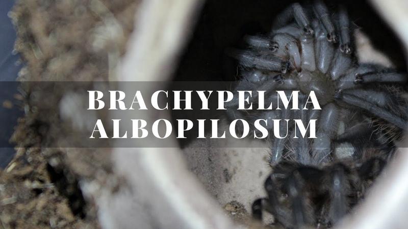 Паук птицеед Brachypelma Albopilosum L6 7 как выглядит линька птицееда