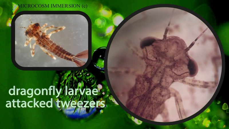 Dragonfly larvae attacked tweezers!