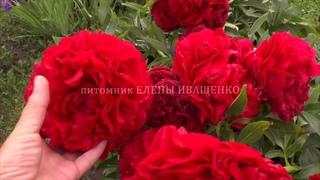 Тёмно-красный ПИОН после дождя / питомник ЕЛЕНЫ ИВАЩЕНКО