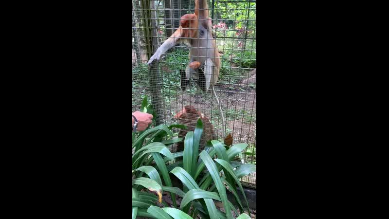 носачи в Lok Kawi wild world