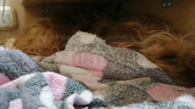 Прожил всего пару дней В Златоусте умер терьер которого растерзали бродячие собаки
