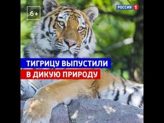 В Приморье тигрицу выпустили в дикую природу — Россия 1