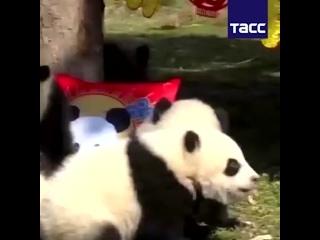 Детеныши больших панд поздравили китайцев с праздником Весны