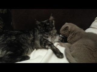 Когда котенок в семь месяцев перерос приемную маму