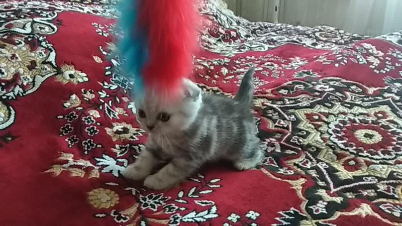 Котенок Лапы и персика