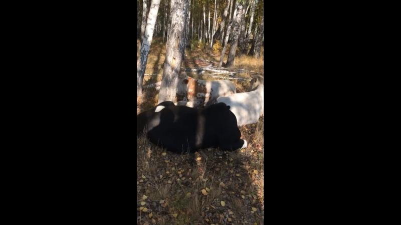 Видео от Ахимса Чел Ферма Коров