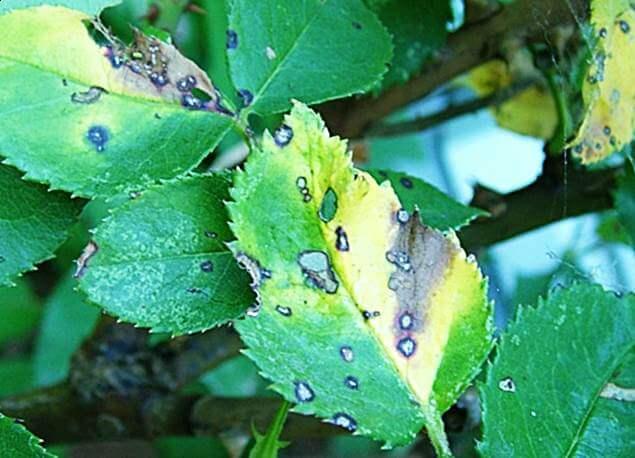 Борьба с инфекционными болезнями роз, изображение №17