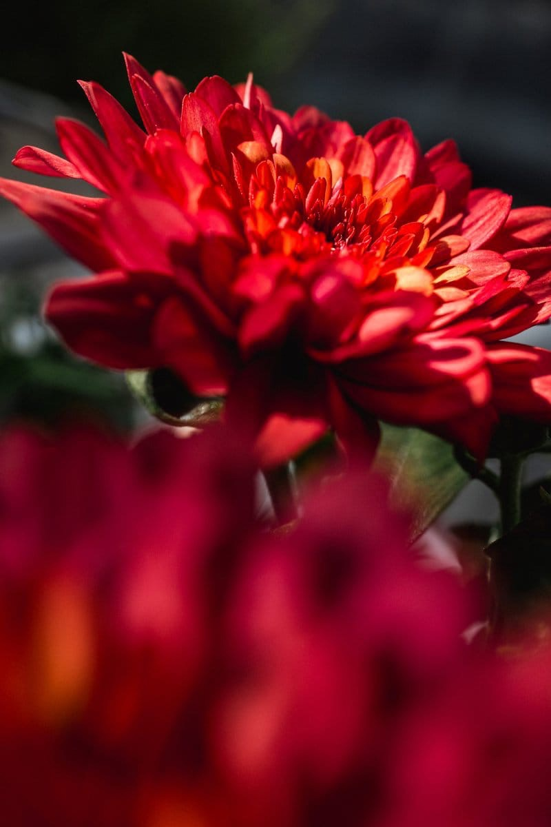 Во Флорариуме цветет хризантема