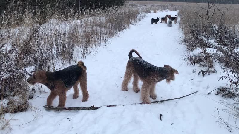 Вот так и гуляем 6 собак и я одна какие поводки Это за городом деревня поле лес