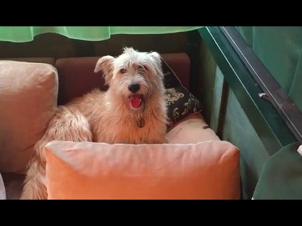 Шерри на диване Отдам собаку в хорошие заботливые руки