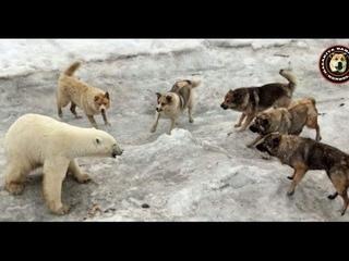Dogs vs Bear - Livestock Guardian Dogs vs Bear