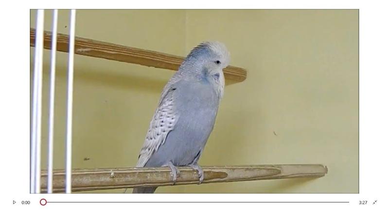 Muhabbet kuşu dünyasının Kralları Show Jumbo Kuşlar budgerigars