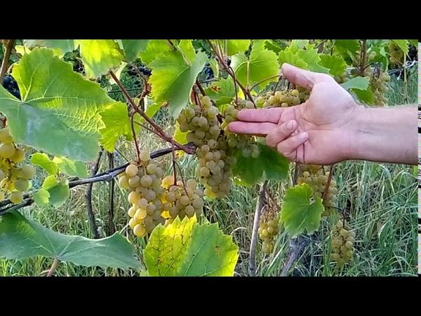 Отличный сорт канадского винного винограда Вандаль Клише Виноград центр grapes center