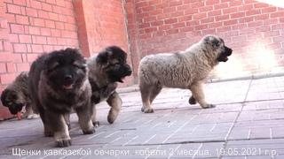 Щенки кавказской овчарки, кобели 2 месяца.  +7(926)220-56-03 Татьяна Ягодкина